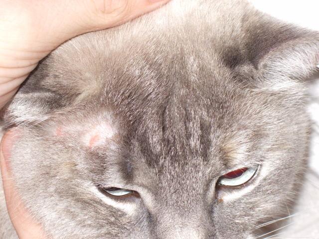 Микроспория у кошек: признаки, симптомы и лечение