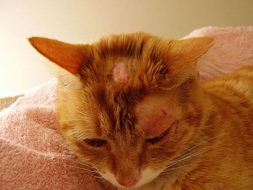 Лишай у кошек: признаки, симптомы, лечение - Болезни кошек