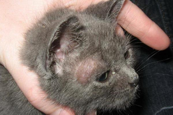 Лишай у кошек передается ли человеку: опасность заболевания и его ...
