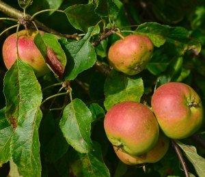 Парша на яблоне: признаки поражения, средства и препараты для борьбы