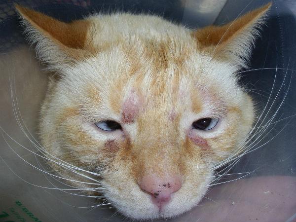 Дерматит у кошек: виды, симптомы и лечение