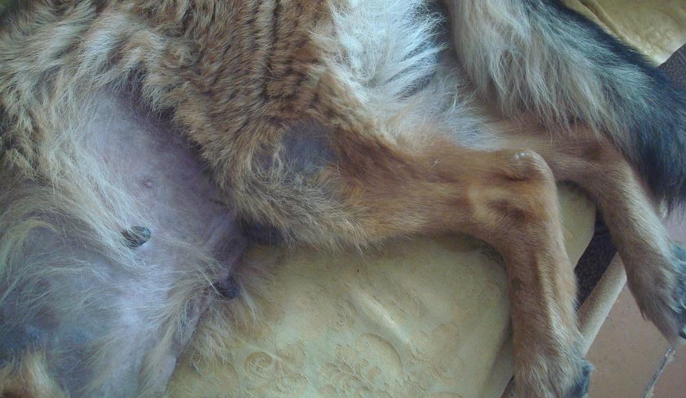 Причины выпадения шерсти у собак