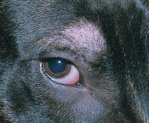Очаговая алопеция у собак и кошек | Ветеринарный врач