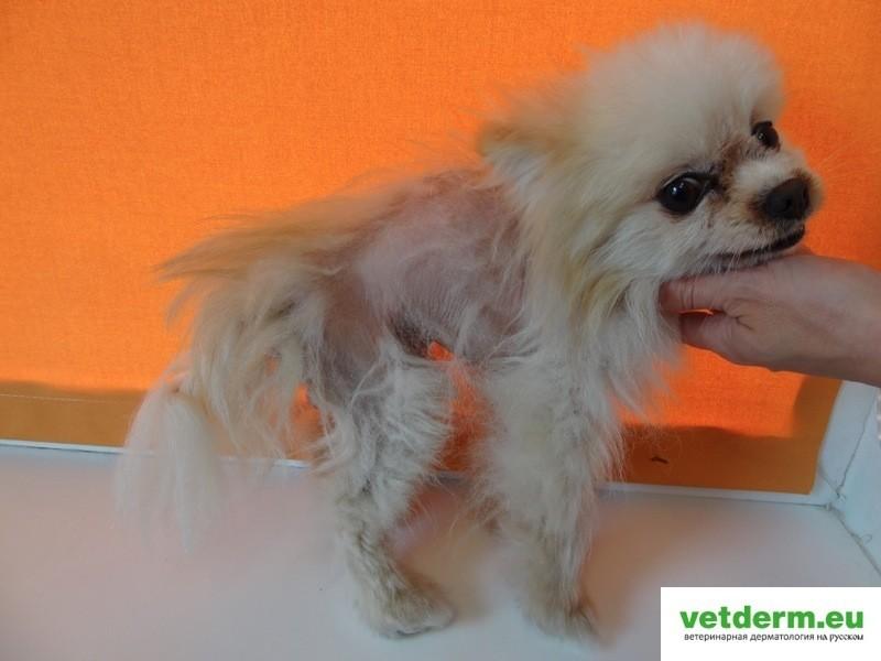 Билатеральная симметричная алопеция у собак | Ветеринарная ...