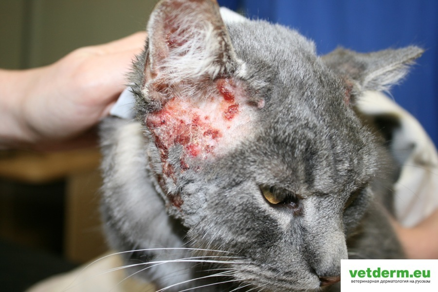 Атопический дерматит у кошек   Ветеринарная дерматология на русском