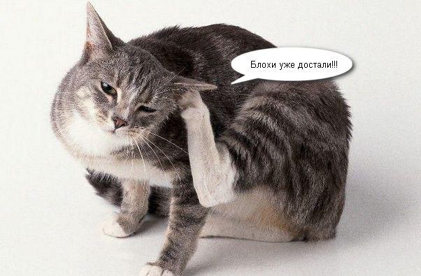 Блошиный дерматит у собак и кошек: лечение в домашних условиях