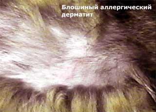 Блошиный аллергический дерматит у кошек.