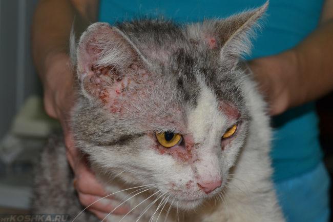 Милиарный дерматит у белой кошки