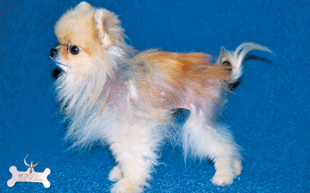 Облысение хвоста у собак: выясняем причины недуга