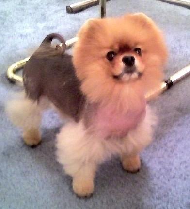 Почему у собаки выпадает шерсть – алопеция Х?